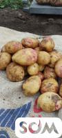 Продаю картошку сорт ПИКАССО( 1 ) РЕПРОДУКЦИЯ. Все сертификаты имеются