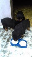 Продаю щенков ротвейлера месячных, два кобеля и одна сука