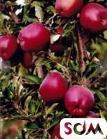 Местные карликовые и колонновидные яблони и груши.