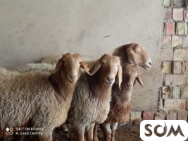 Продаются овса матка